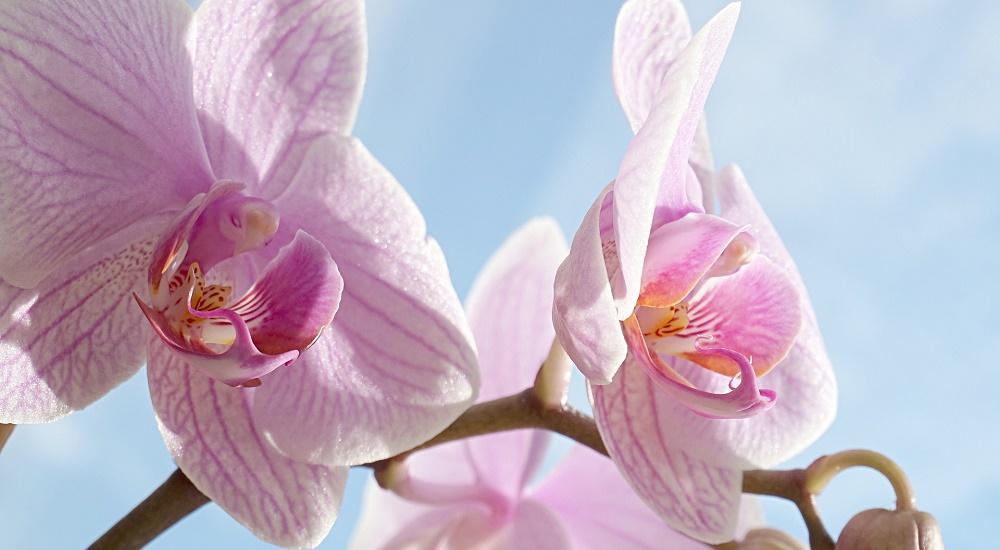 orchidee-come-coltivare-la-phalaenopsis