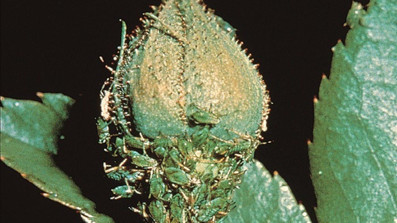Combattere Afidi Delle Rose eliminare gli afidi dalle piante ornamentali