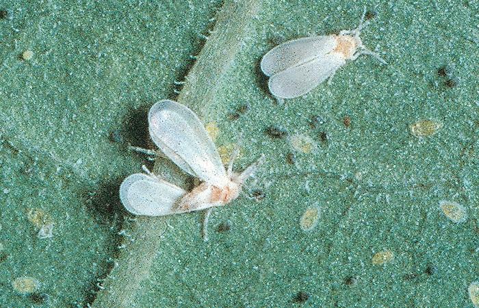 mosca bianca degli agrumi