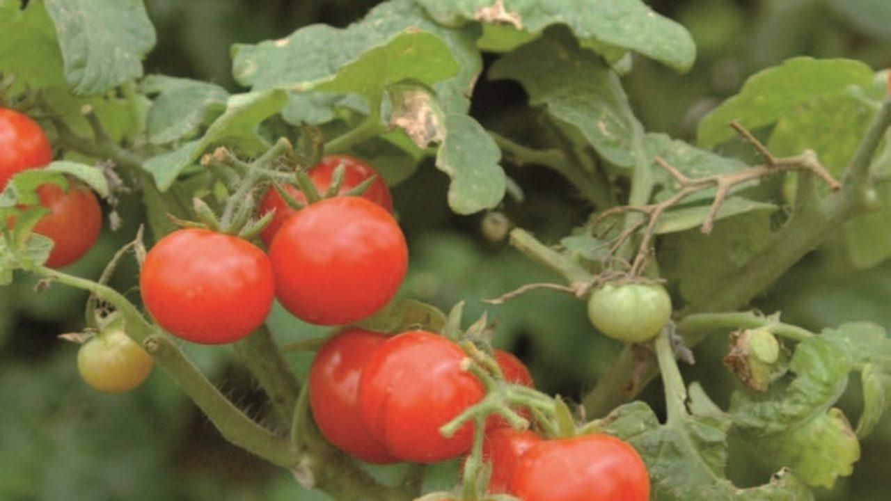 Come Coltivare Pomodori Sul Balcone coltivare i pomodori in vaso • fuori di verde