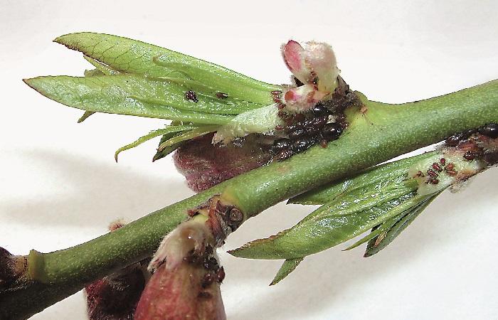 afidi piante da frutto