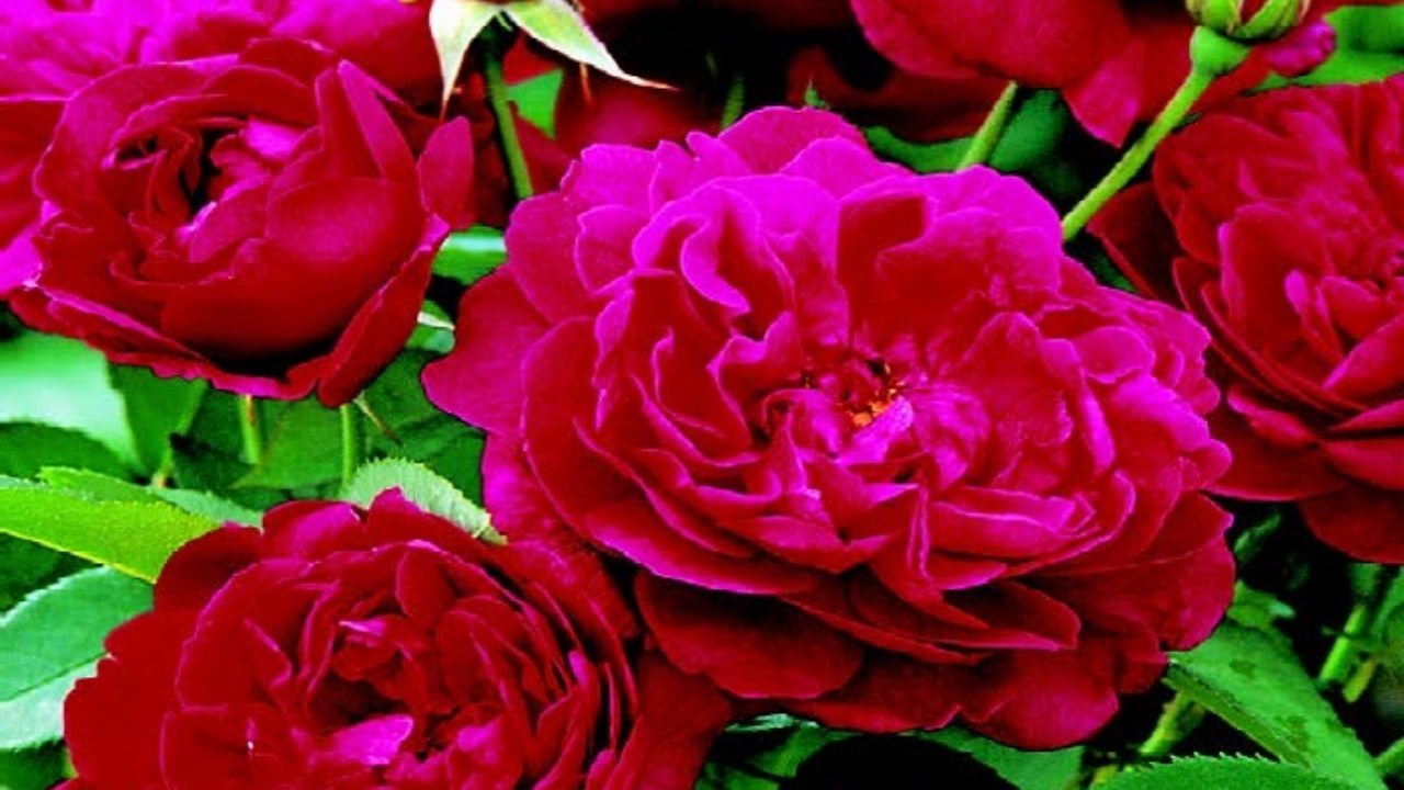 Coltivare Fiori Da Recidere maggio: il mese delle rose • fuori di verde