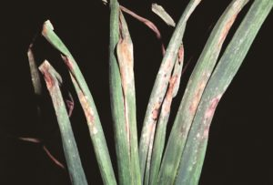Peronospora nell'orto