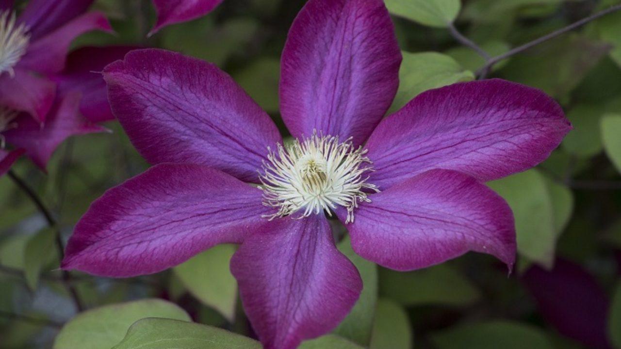 Rampicanti Che Crescono All Ombra clematidi: il rampicante per chi ama i fiori • fuori di verde