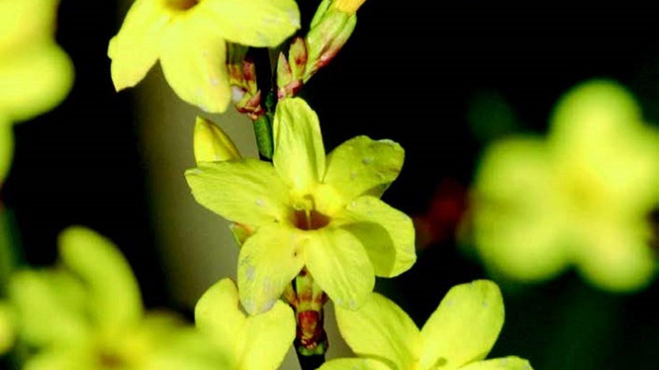 Calicanto Fiore D Inverno gelsomino invernale: fiori da gennaio • fuori di verde