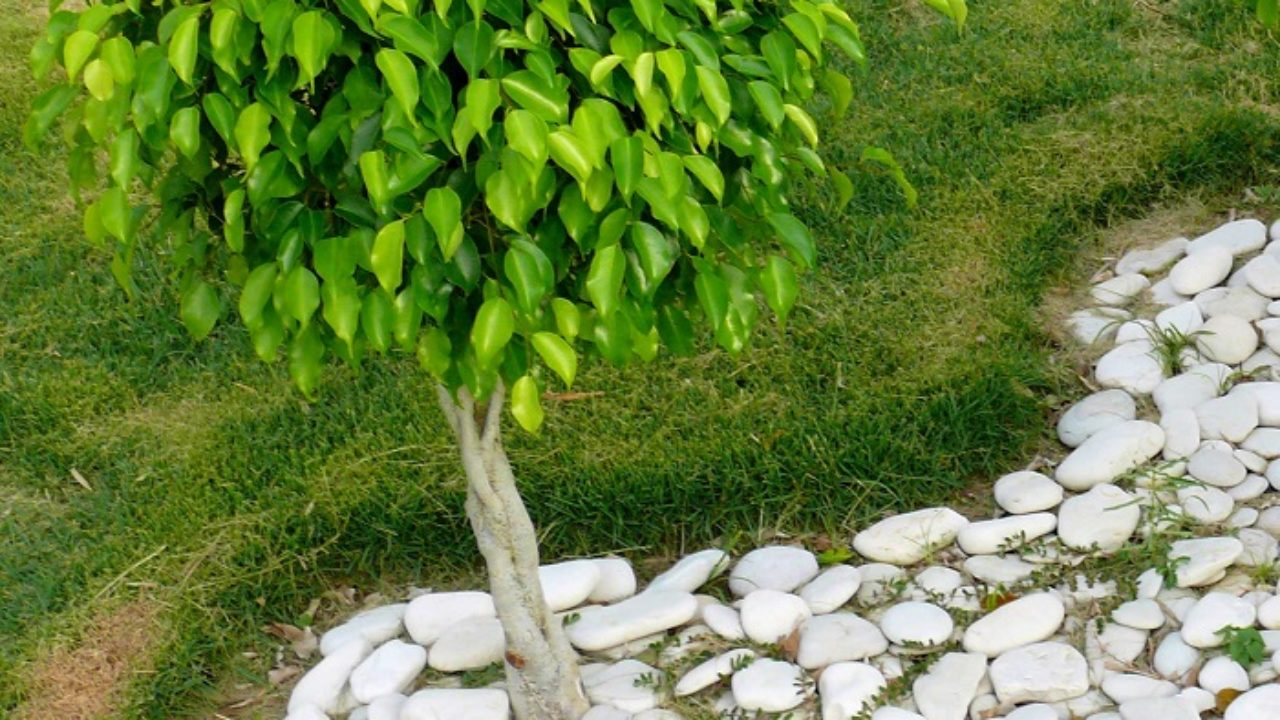 Cura Del Ficus Benjamin ficus benjamina: la pianta d'appartamento per eccellenza