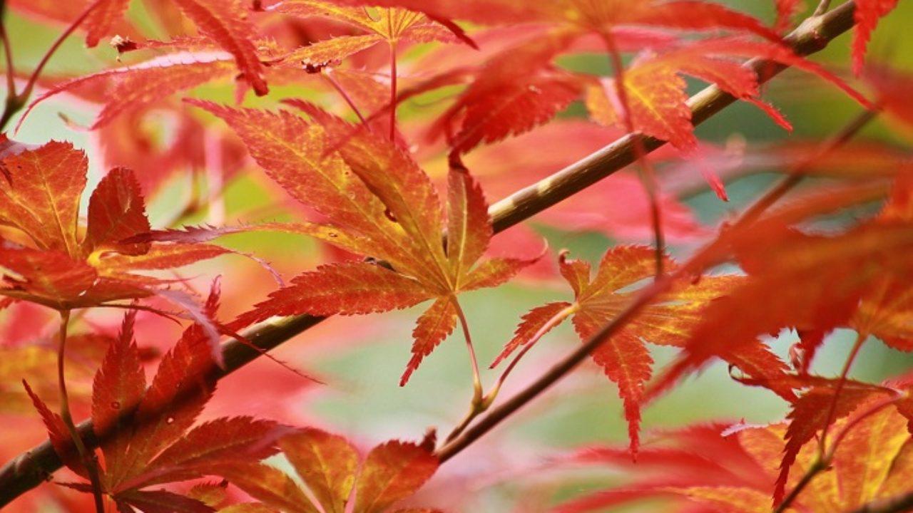 Acero Giapponese Verde aceri giapponesi: colori tutto l'anno • fuori di verde
