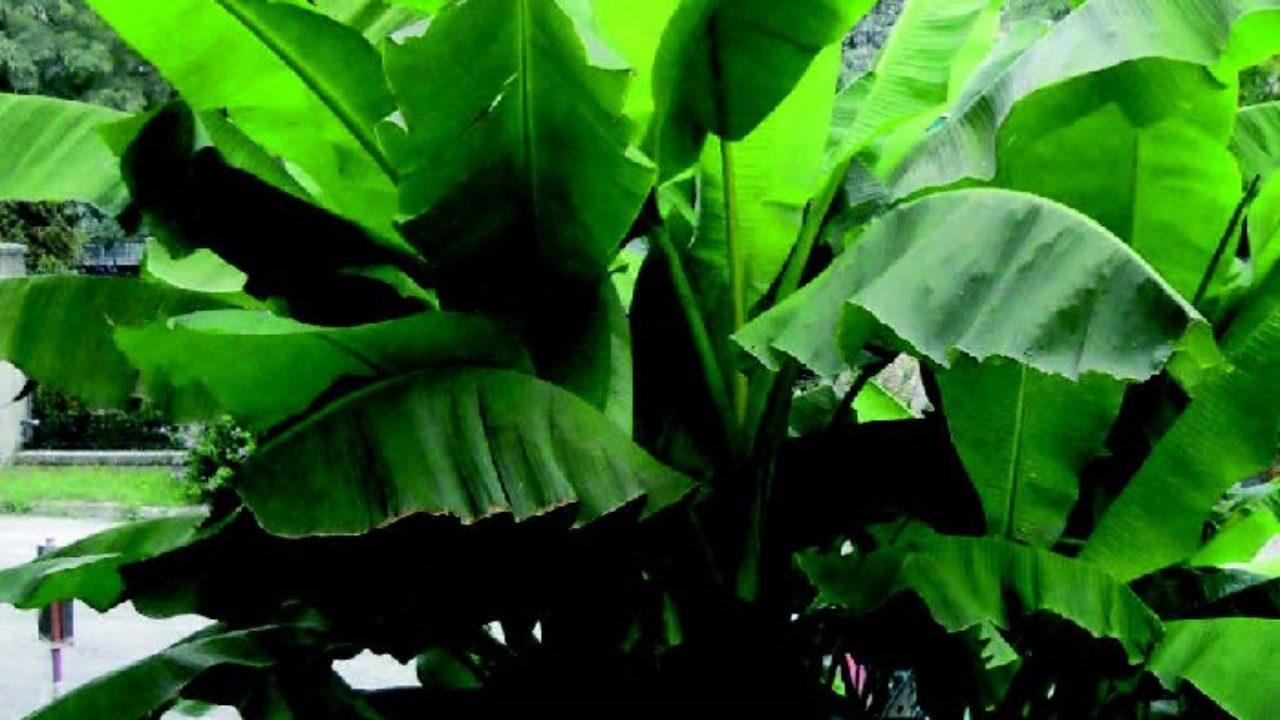 Pianta Di Banana Foto coltivare il banano in appartamento • fuori di verde