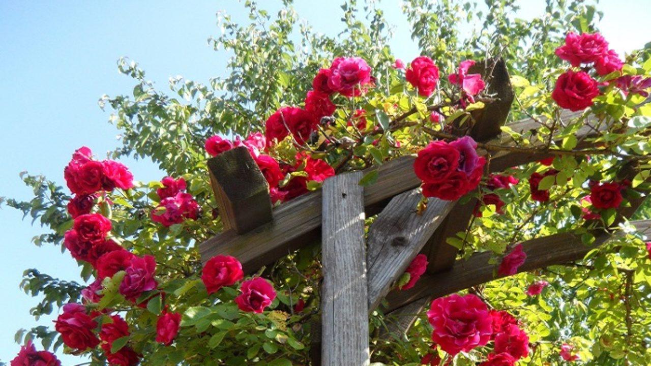 Rosa Rampicante In Vaso con le rose rampicanti e sarmentose i muri prendono vita