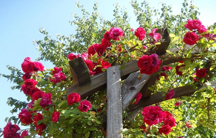 Rose rampicanti e sarmentose