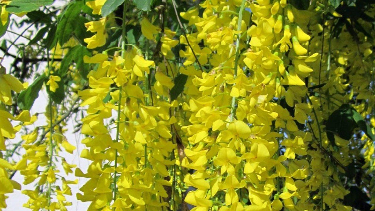 Arbusto A Fiori Gialli maggiociondolo: una esplosione di fiori