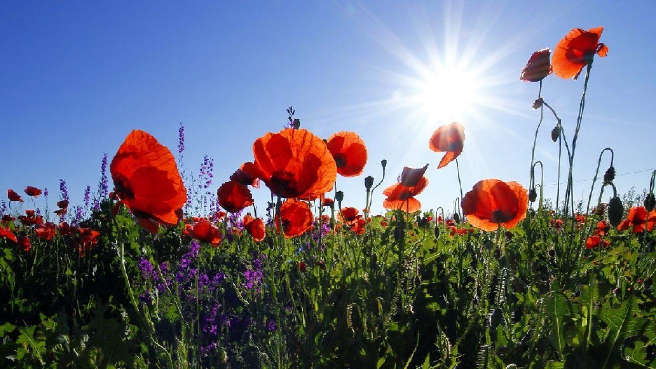 Fiori Che Amano Il Sole quali fiori coltivare nelle aiuole al sole