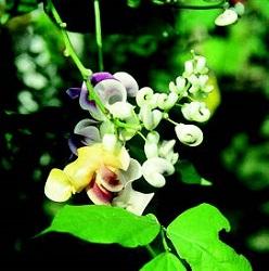Rampicanti - Fagiolo Da Fiore