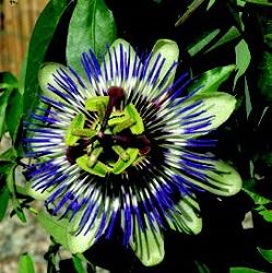 Rampicanti - Passiflora