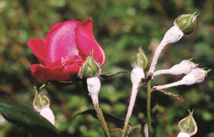 il-mal-bianco-sulle-piante-ornamentali
