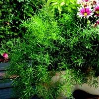 Piante-per-i-terrazzi-allombra-asparagina