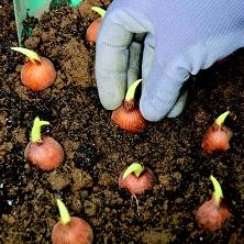 Orto-in-vaso-in-autunno-cipolle