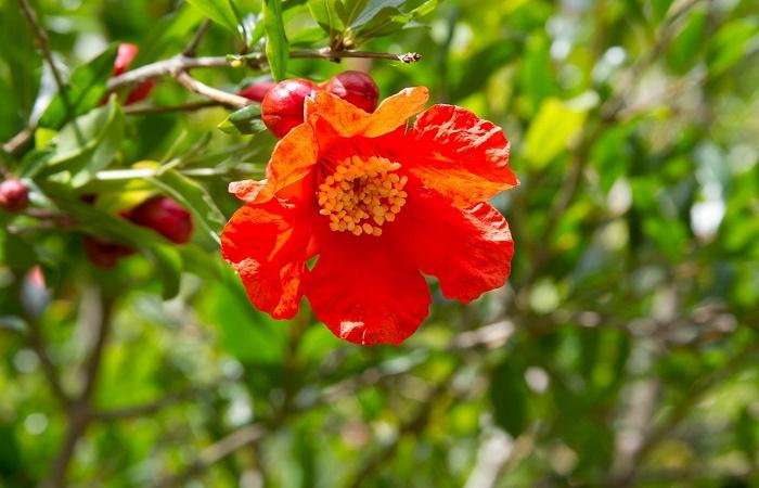 melograno da fiore