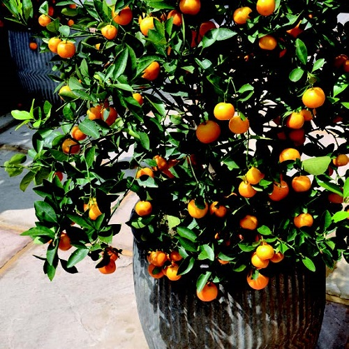frutteto-in-vaso-mandarino-nano