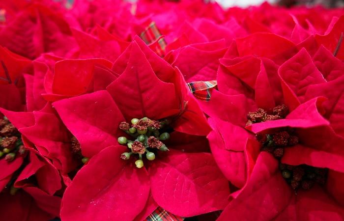 Stella Di Natale Coltivazione.Coltivare La Stella Di Natale Blog Di Ital Agro