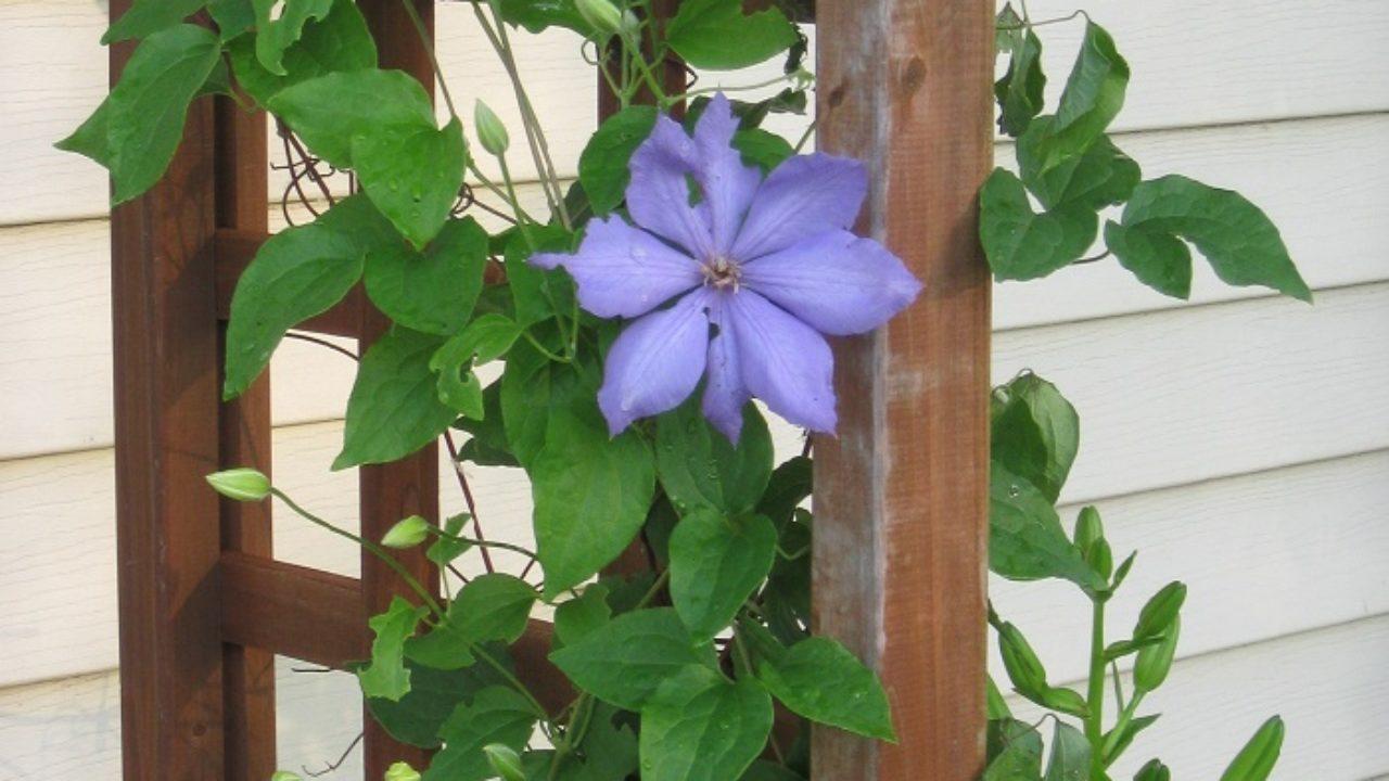 Clematis Resistenti Al Freddo rampicanti in vaso sul balcone: quali piante scegliere?