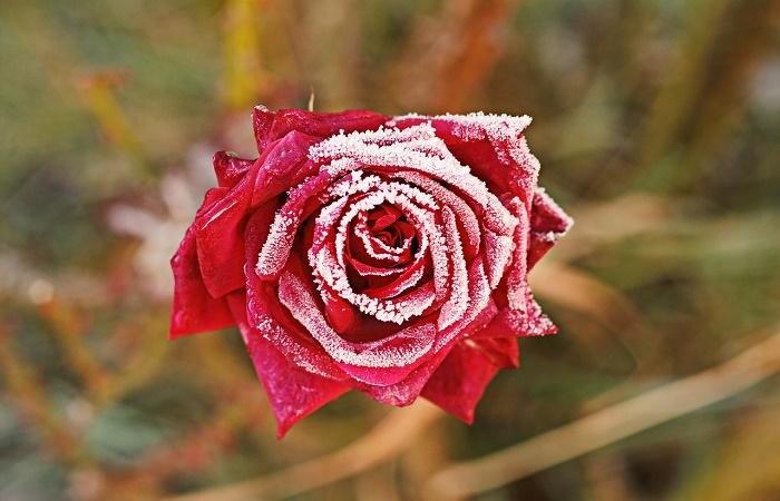 rose in inverno