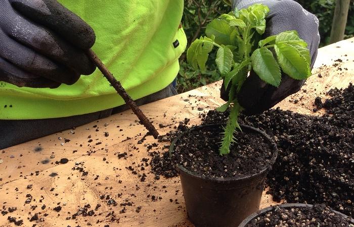 creare nuove piante con le talee
