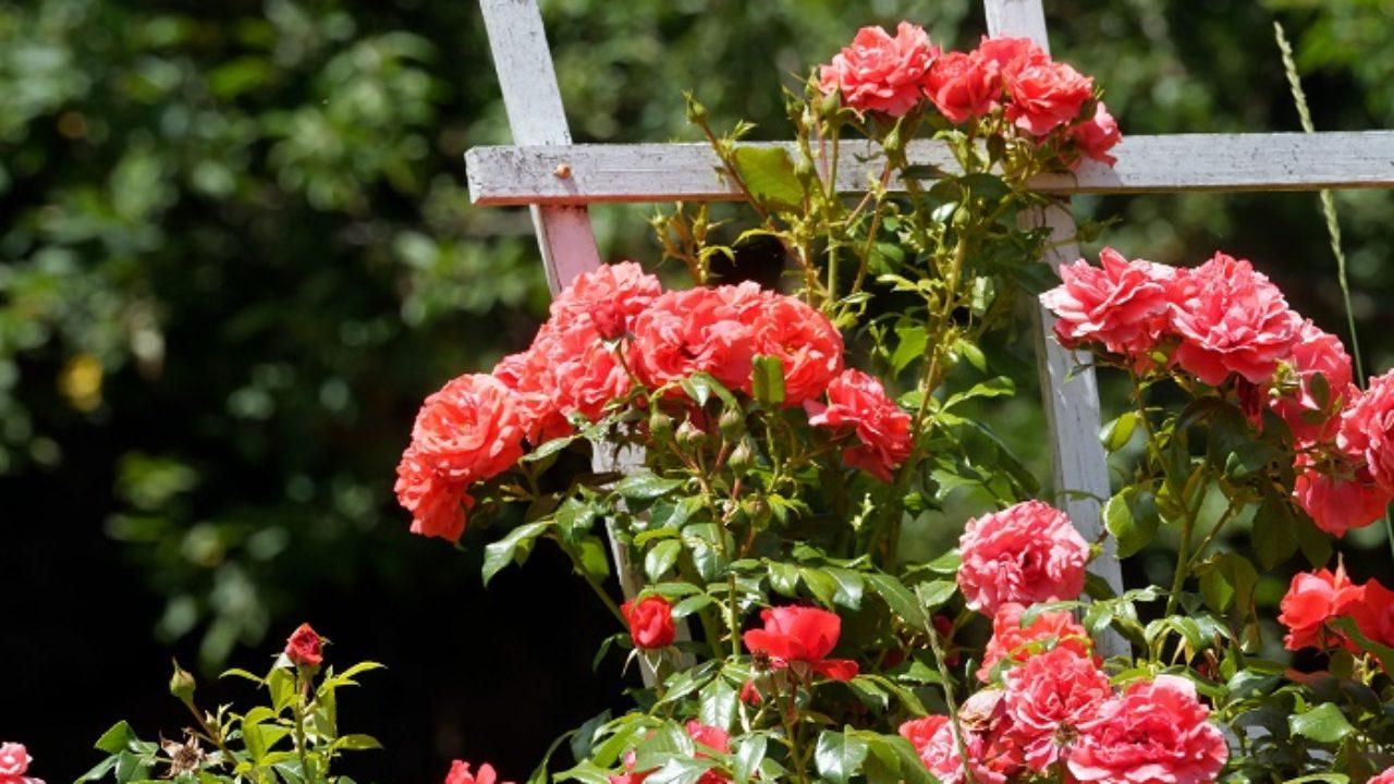 Rose Da Taglio Rifiorenti come potare le rose nel corso dell'anno