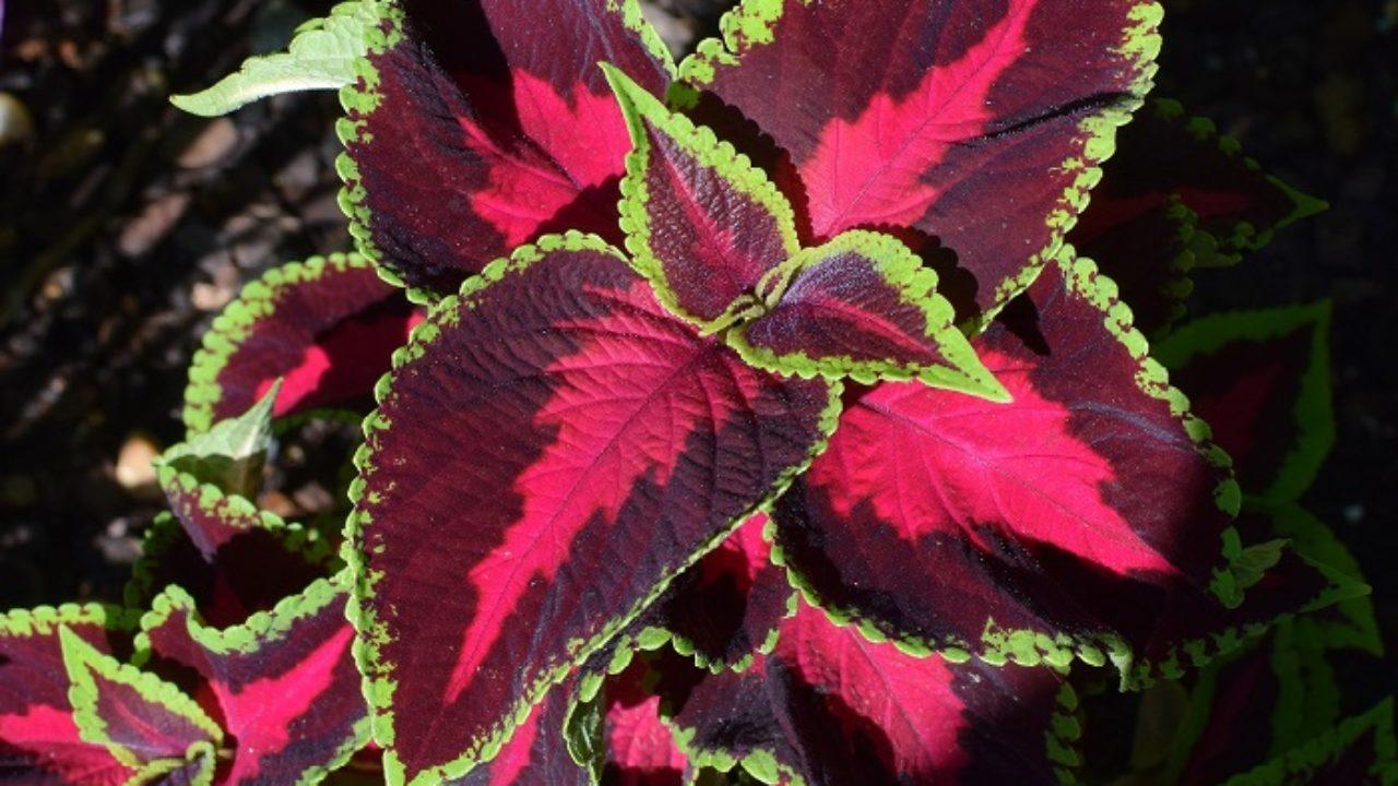 Pianta Foglie Rosse E Verdi come coltivare il coleus: per chi ama le foglie colorate