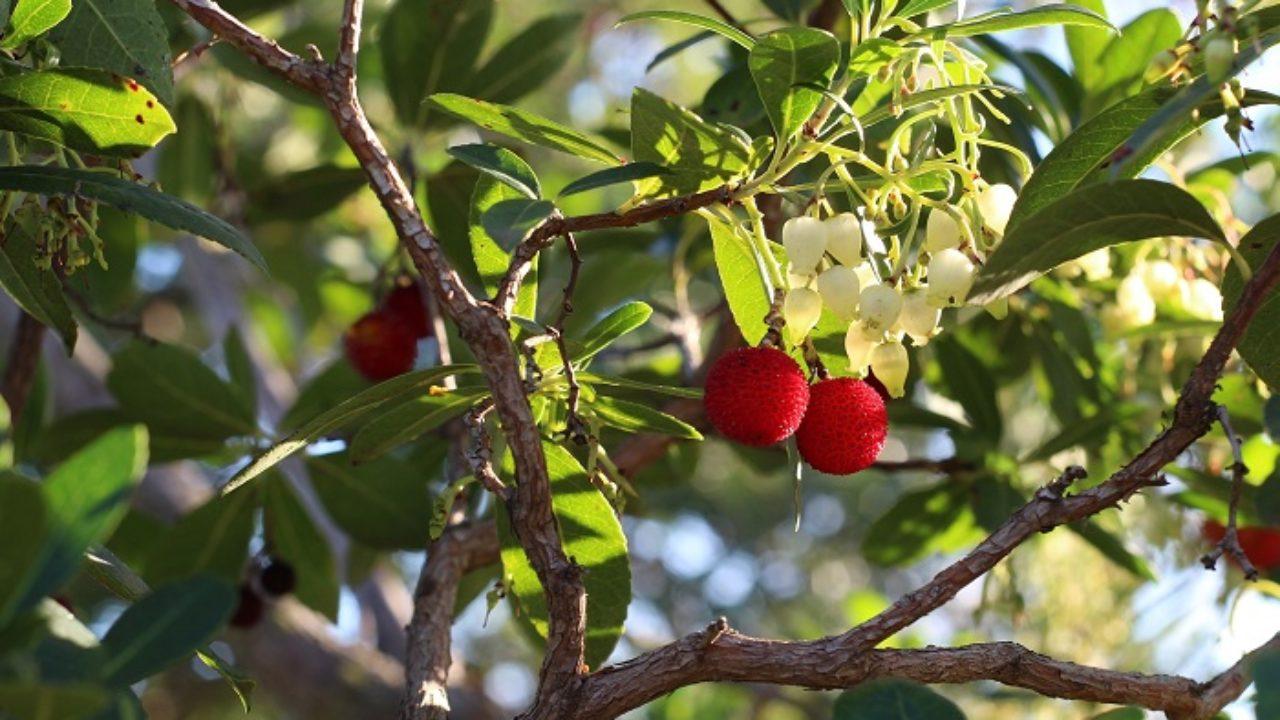 Piante Da Frutto Sempreverdi come coltivare il corbezzolo: un frutto dimenticato