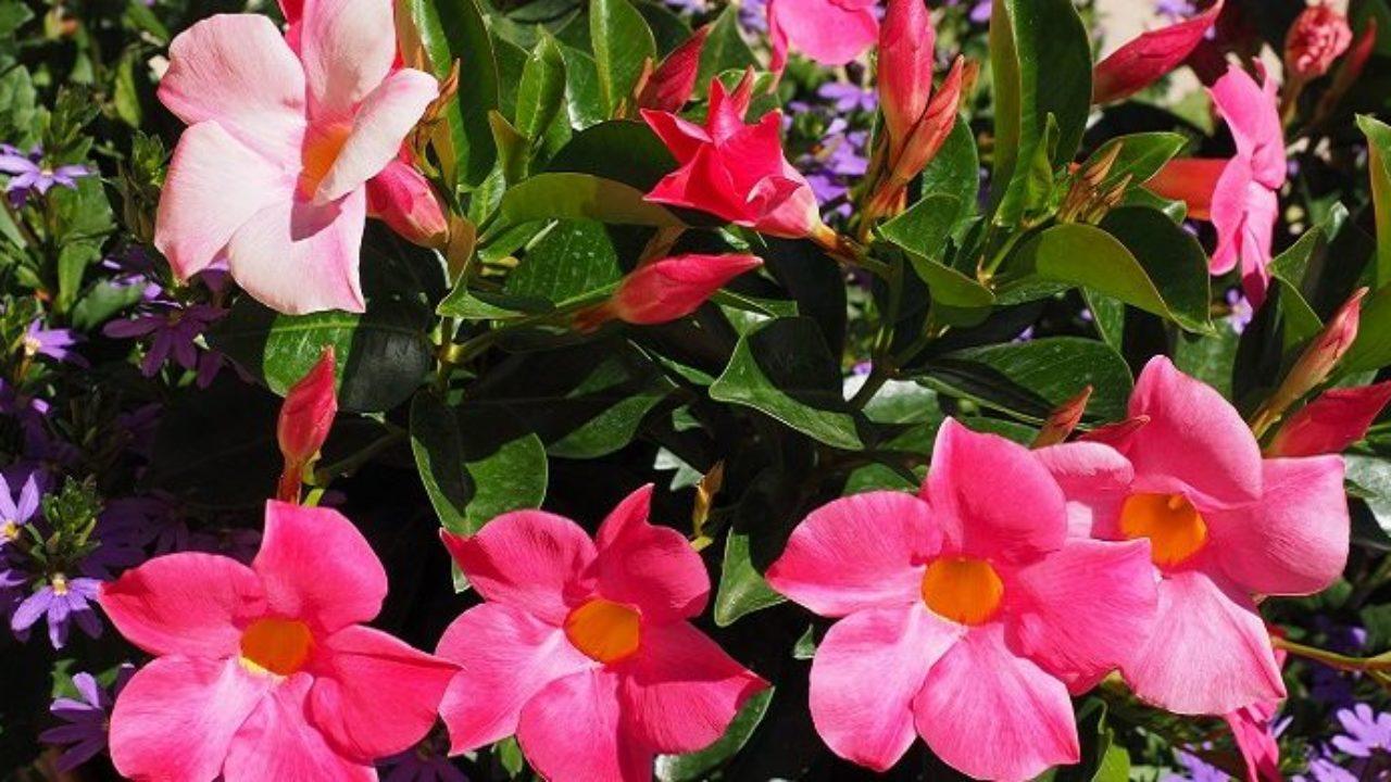 Tutori Per Rose Rampicanti dipladenia: come coltivare la mandevilla in vaso