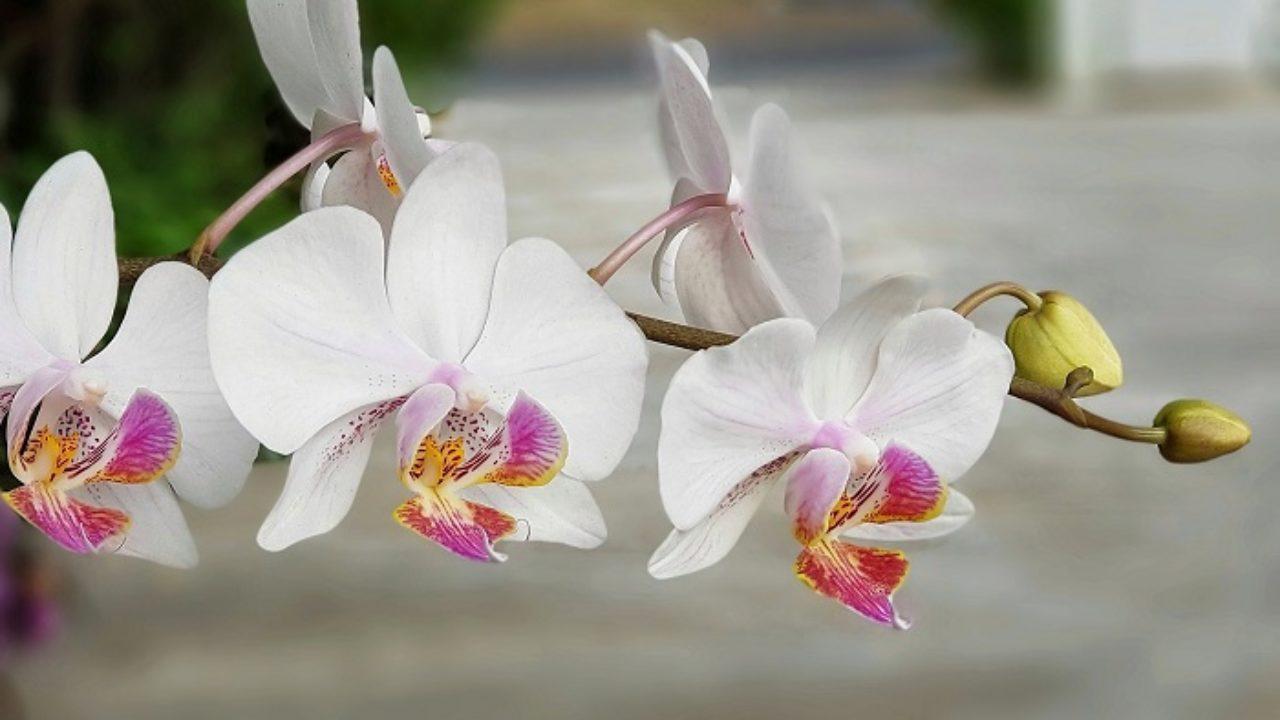Fiori Orchidea Bianchi.Malattie E Parassiti Tipici Delle Orchidee