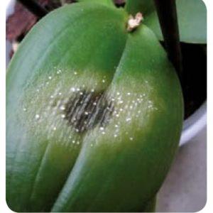ORCHIDEE - Macchie Fogliari Necrotiche