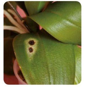 ORCHIDEE - Macchie Nere Con Olone Giallastro