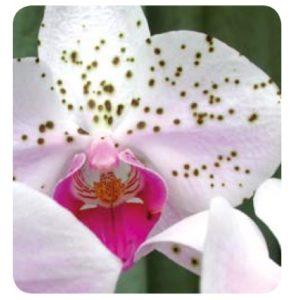 ORCHIDEE - Marciumi Fogliari O Fiorali