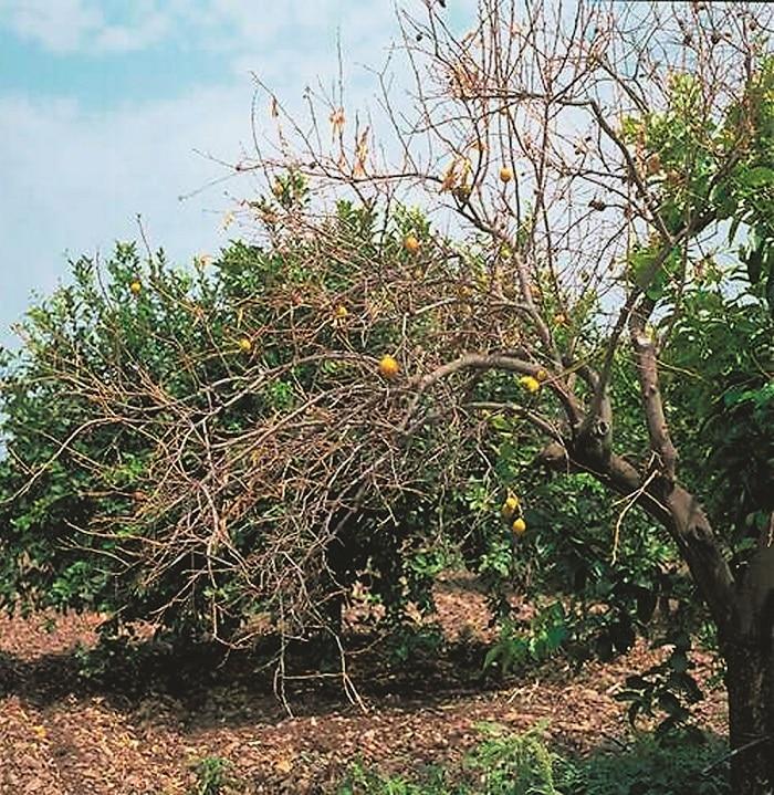 Come curare il Mal Secco su Agrumi e Limoni
