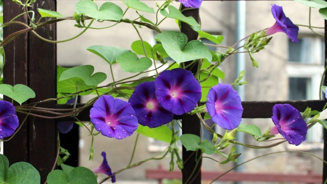 Tutori Per Rose Rampicanti come coltivare le piante rampicanti: una barriera verde sul
