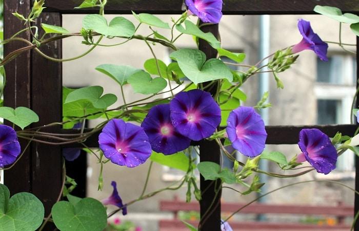 coltivare le piante rampicanti