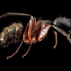 Rimedio Contro Le Formiche - Camponotus