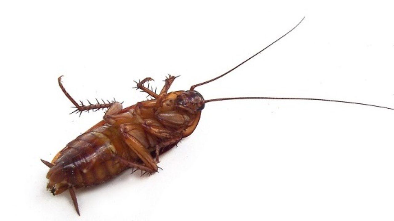 Piccoli Scarafaggi In Cucina scarafaggi in casa: impariamo a conoscere il nemico