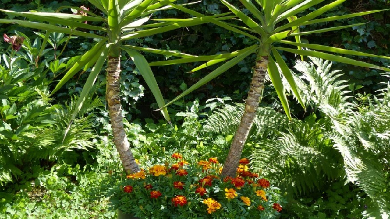 Piante Adatte Al Sole Diretto come coltivare la yucca in vaso in appartamento