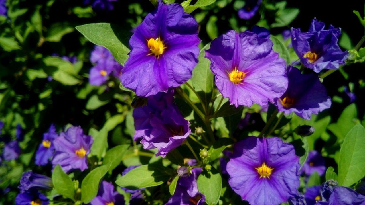 Quando Potare Il Bouganville come coltivare il solanum: un rampicante facile da curare
