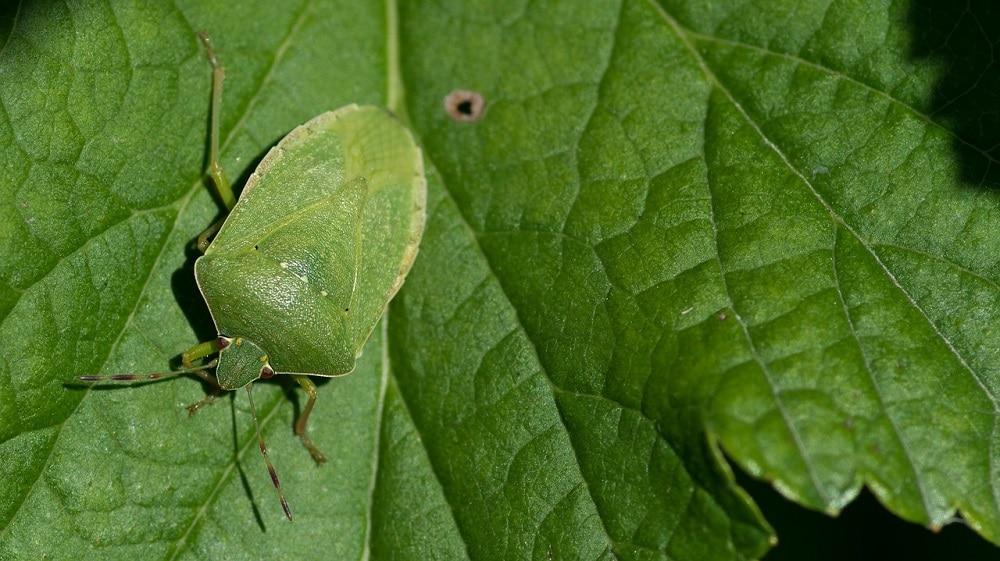 Come risolvere il problema delle Cimici fitofaghe: impariamo a riconoscerle