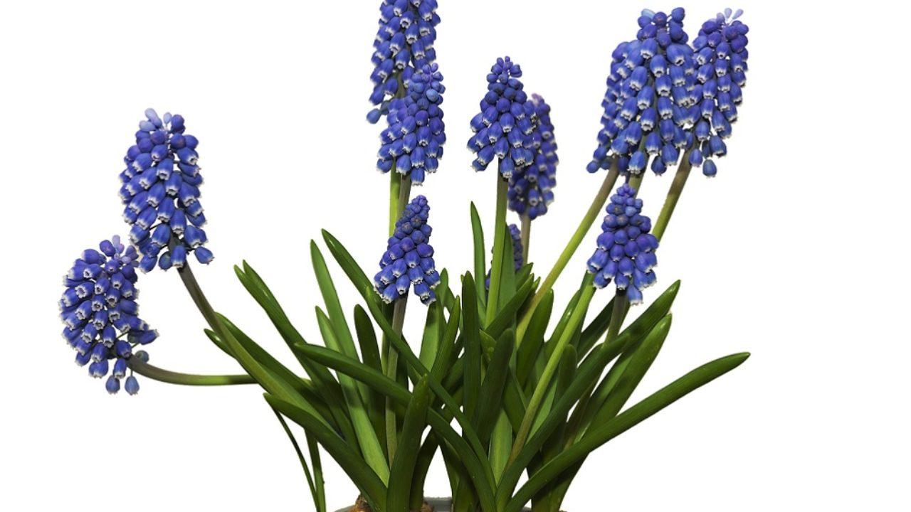 Quali Bulbi Piantare In Primavera come coltivare i muscari sul terrazzo: in autunno è ora del