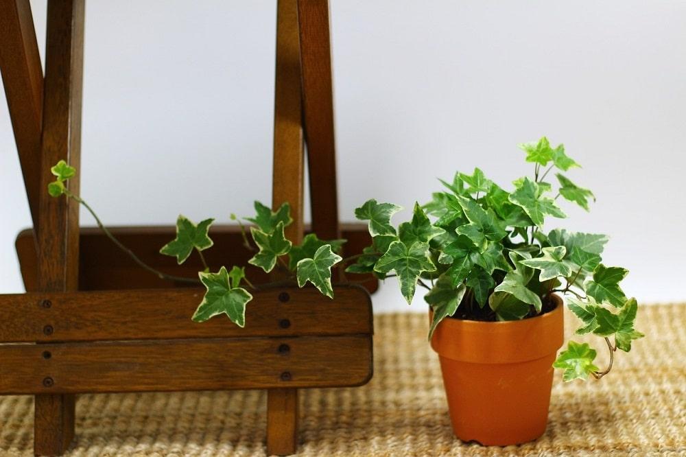 piante rampicanti adatte per un clima freddo