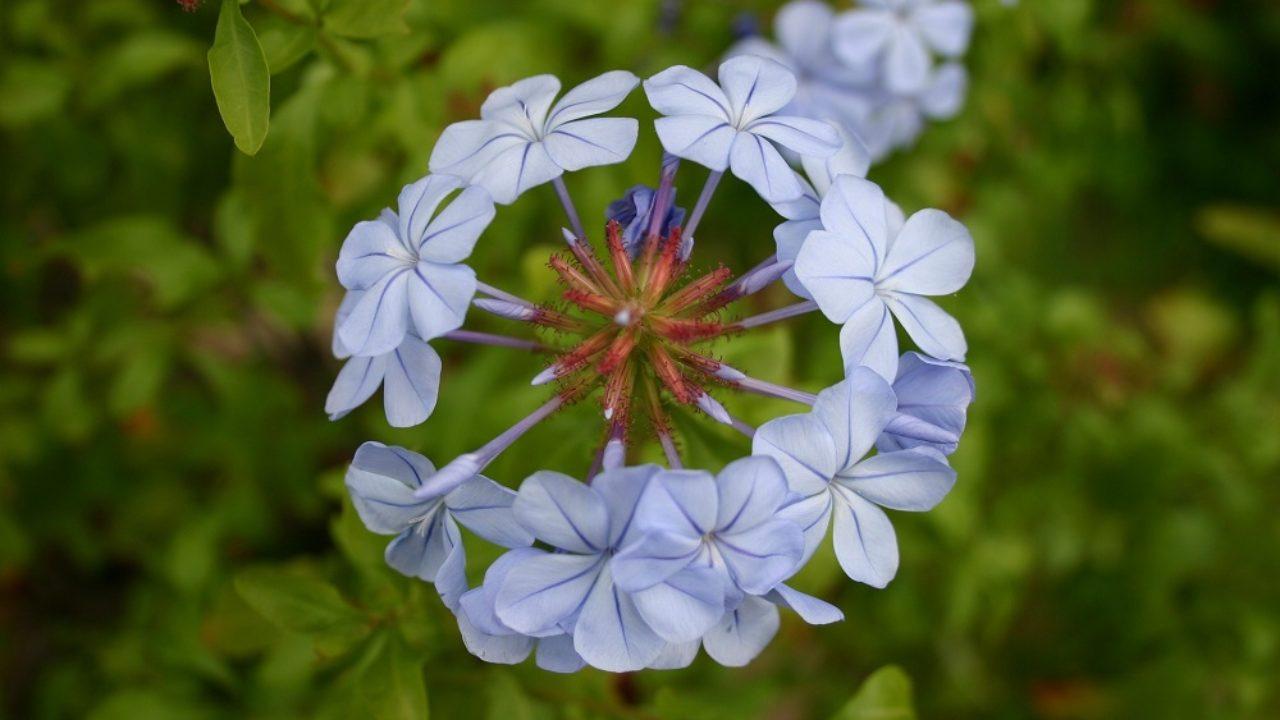 Rampicanti Adatti In Vaso come coltivare il plumbago: il gelsomino azzurro • fuori di