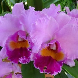 Curare Le Orchidee - Cattleya
