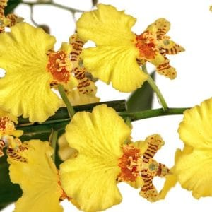 Curare Le Orchidee - Oncidium