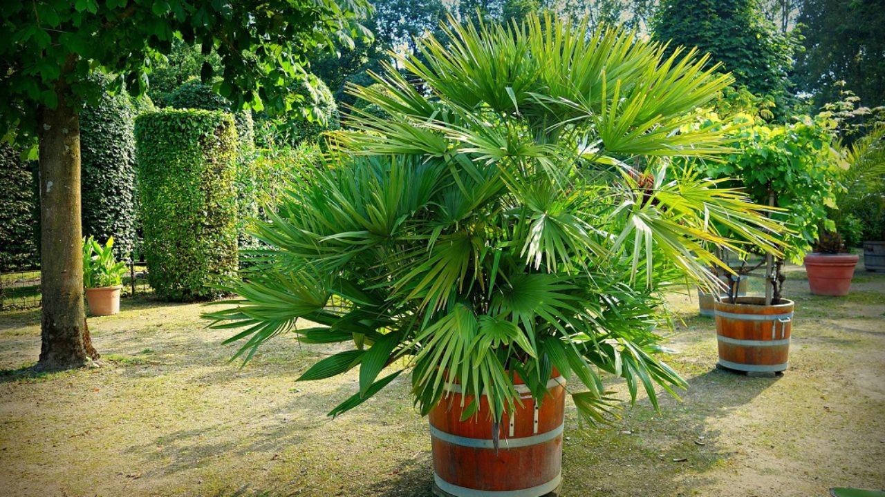 Palme Da Vaso Per Esterno come coltivare le palme in giardino • fuori di verde