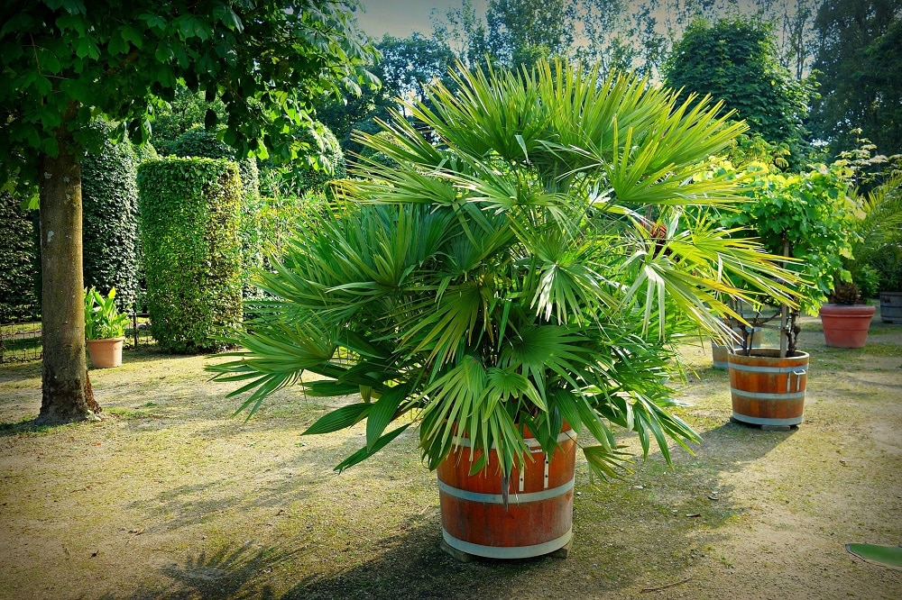 coltivare le Palme in giardino